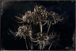 「ヒガンバナ#2/The Flowers of Autumn Equinox#2,2012」銀板写真/ダゲレオタイプ  ©Takashi Arai, 2013