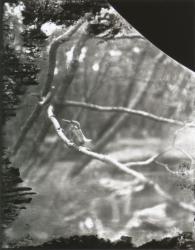 《カワセミ》1922年1月5日 佐賀県佐賀市 撮影:下村兼史 所蔵:(公財)山階鳥類研究所 ※展示作品は複製