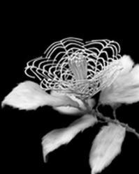 徳重秀樹 「BONE FLOWER / Camellia #1」 2013年 556×435 mm Bone of mice, Gelatin silver print ED.3