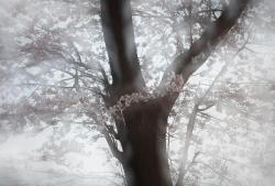 Somei18A ©Tsuruko