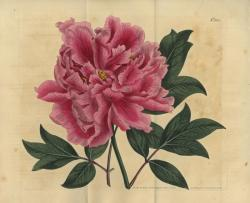 《 ボタンの栽培品種(ボタン科) 》 1809 年 個人蔵 photo Brain Trust Inc.